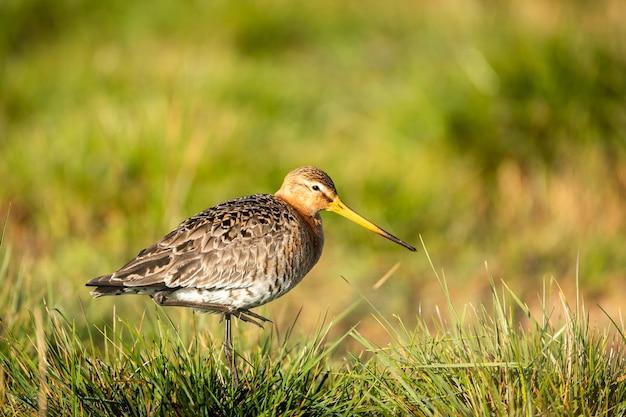 Nahaufnahmeaufnahme des eurasischen brachvogels im grasland, das nach nahrung sucht