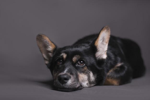 Nahaufnahmeaufnahme des hundes, der sich hinlegt und ruhig auf die kamera schaut