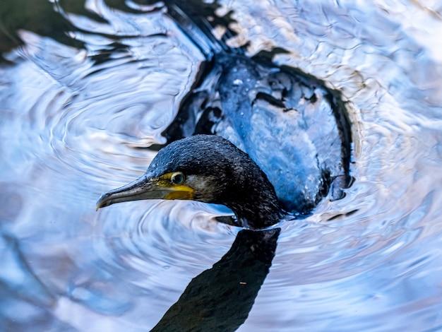 Nahaufnahmeaufnahme des japanischen kormorans, der auf dem see im izumi-wald in yamato, japan tagsüber schwimmt