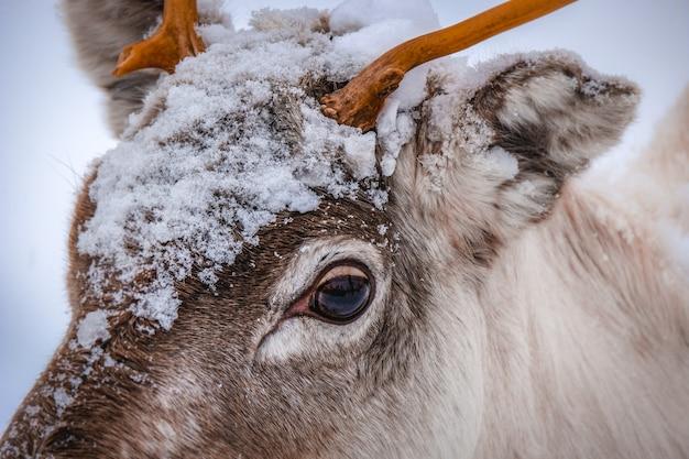 Nahaufnahmeaufnahme des kopfes eines schönen hirsches mit schneeflocken darauf