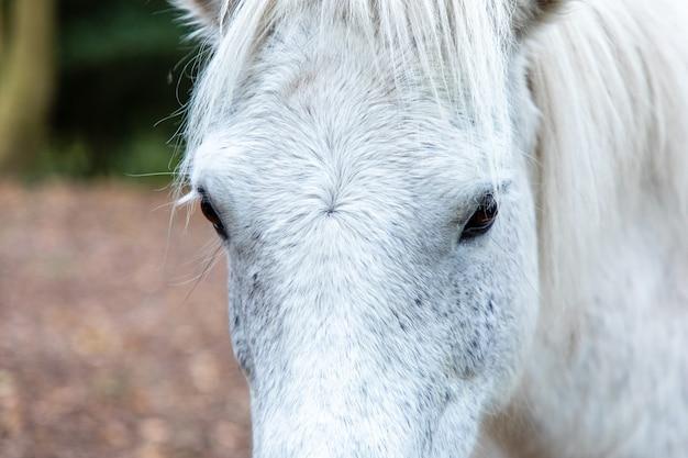 Nahaufnahmeaufnahme des kopfes eines weißen pferdes in thornecombe woods, dorchester, dorset, uk