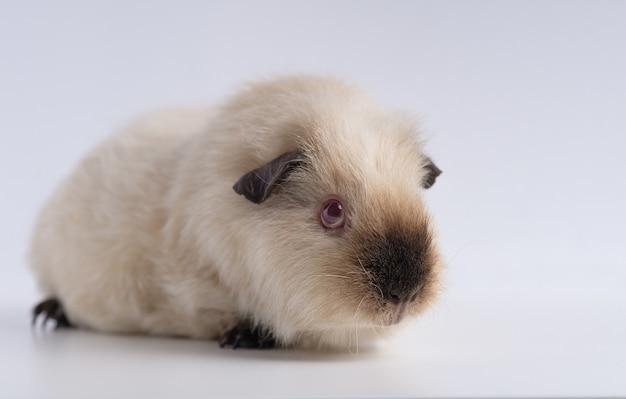 Nahaufnahmeaufnahme des meerschweinchens lokalisiert auf einer weißen wand