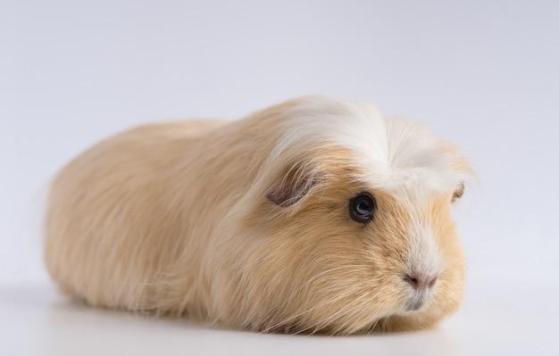 Nahaufnahmeaufnahme des meerschweinchens lokalisiert auf weißem tisch