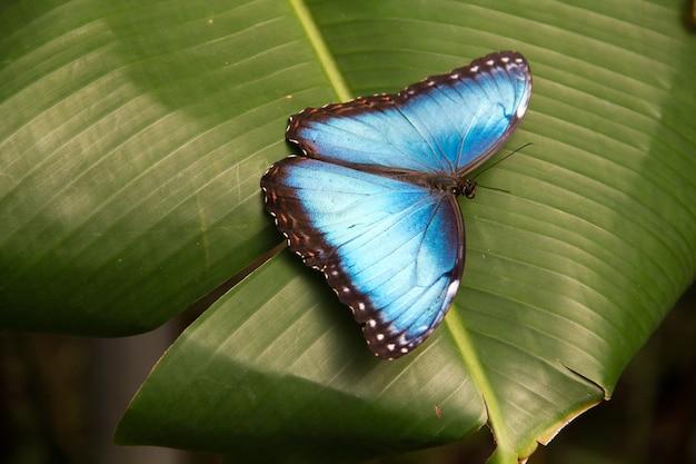 Nahaufnahmeaufnahme des schönen blauen morpho-schmetterlings auf einem blatt
