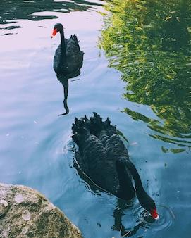Nahaufnahmeaufnahme des schönen schwarzen schwans, der in einem see schwimmt