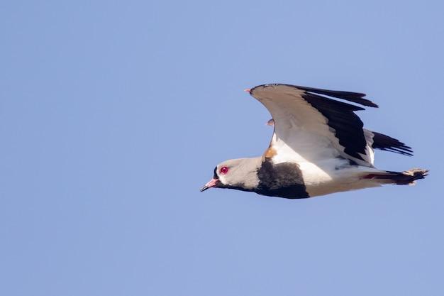 Nahaufnahmeaufnahme des südlichen kiebitzes auf flug unter dem blauen himmel