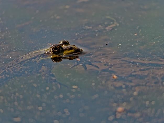 Nahaufnahmeaufnahme des sumpffrosches pelophylax ridibundus im see in europa