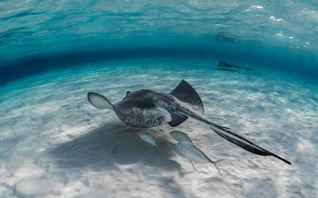 Nahaufnahmeaufnahme des unter wasser schwimmenden stachelrochenfisches mit einigen fischen, die unter ihm schwimmen