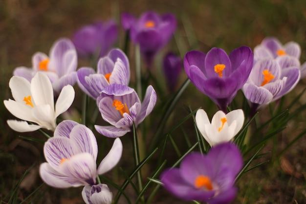 Nahaufnahmeaufnahme des weißen und lila frühlingskrokus