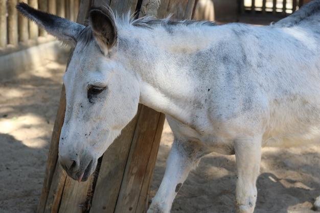 Nahaufnahmeaufnahme des weißen wilden burro