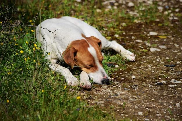 Nahaufnahmeaufnahme des wilden hundes, der in der maltesischen landschaft schläft.