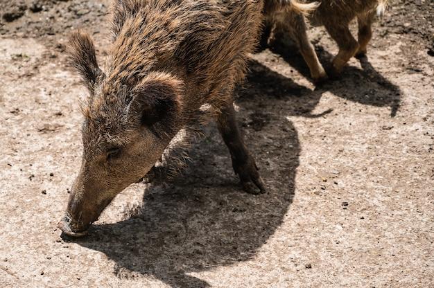 Nahaufnahmeaufnahme des wildschweins, das auf dem boden in einem zoo an einem sonnigen tag füttert
