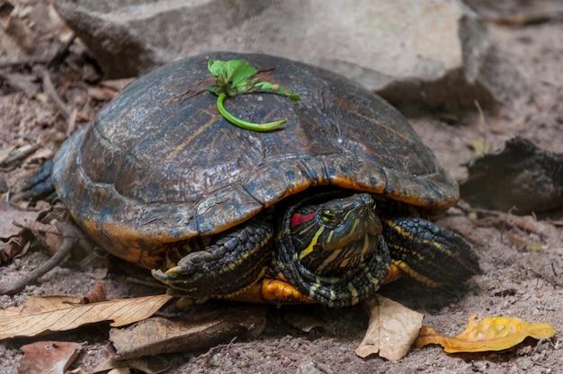 Nahaufnahmeaufnahme einer alten schildkröte im dschungel nahe felsformationen