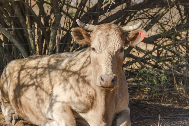 Nahaufnahmeaufnahme einer beigen kuh mit hörnern