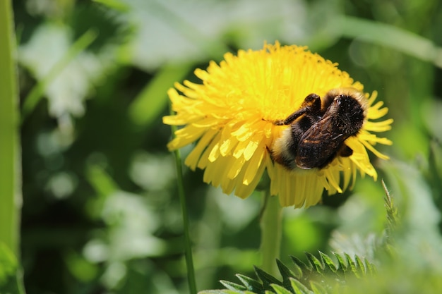 Nahaufnahmeaufnahme einer biene, die auf einer gelben löwenzahnblume sitzt