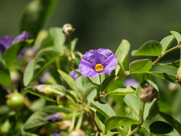 Nahaufnahmeaufnahme einer blühenden lila tasmanischen känguru-apfelblume
