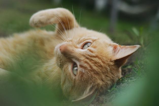 Nahaufnahmeaufnahme einer braunen katze, die auf dem gras liegt