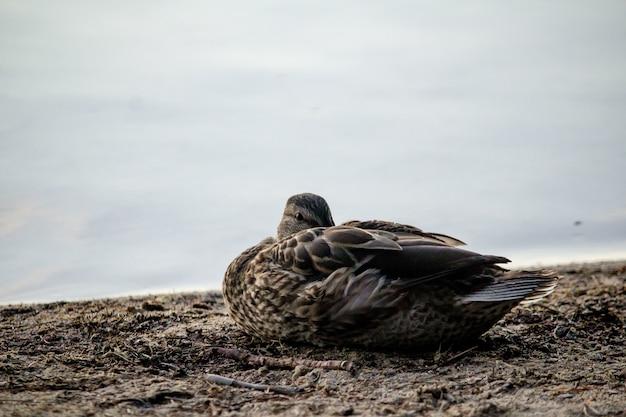 Nahaufnahmeaufnahme einer ente, die auf dem boden nahe dem meer sitzt