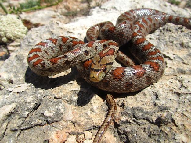 Nahaufnahmeaufnahme einer europäischen rattenschlange, die auf steinen gewickelt wird