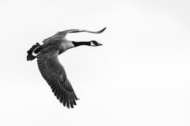 Nahaufnahmeaufnahme einer fliegenden gans mit einem klaren weiß
