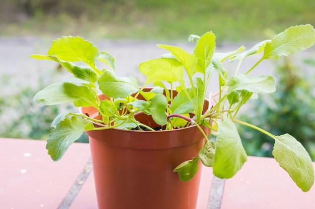 Nahaufnahmeaufnahme einer frischen grünen rettichpflanze in einem braunen plastiktopf
