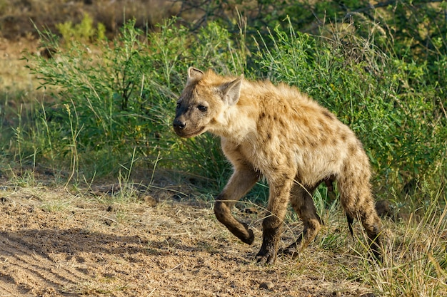 Nahaufnahmeaufnahme einer gefleckten hyäne, die in einem grünen feld in einem sonnigen wetter geht