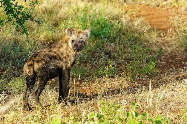 Nahaufnahmeaufnahme einer gefleckten hyäne, die zurück schaut, während sie bei tageslicht auf einem feld geht