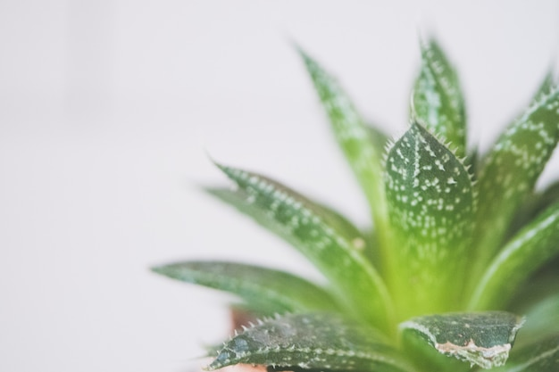 Nahaufnahmeaufnahme einer grünen aloe vera pflanze in einem keramischen braunen topf