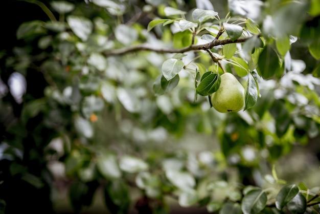 Nahaufnahmeaufnahme einer grünen birne, die an einem zweig mit einem unscharfen hintergrund befestigt ist