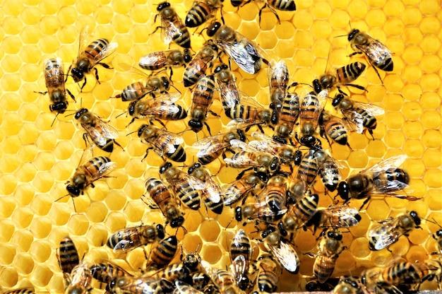 Nahaufnahmeaufnahme einer gruppe von bienen, die eine honigbiene voll des köstlichen honigs schaffen