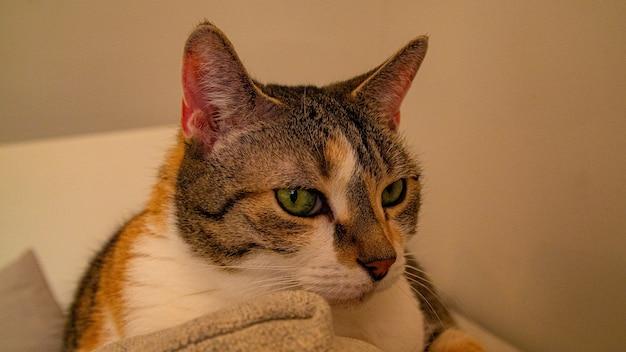 Nahaufnahmeaufnahme einer katze mit grünen augen, die auf einer couch ruhen