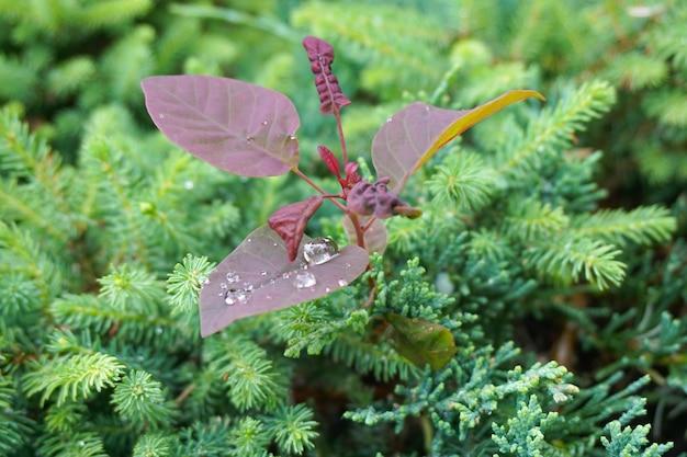 Nahaufnahmeaufnahme einer lila pflanze, die unter grünen pflanzen wächst, die mit tautropfen bedeckt sind