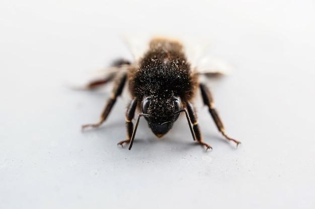 Nahaufnahmeaufnahme einer mit pollen bedeckten biene auf der weißen oberfläche