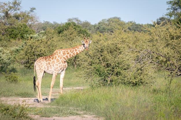 Nahaufnahmeaufnahme einer niedlichen giraffe, die zwischen den grünen bäumen in der wildnis geht