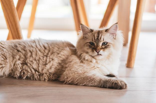 Nahaufnahmeaufnahme einer niedlichen katze, die unter den stühlen auf dem holzboden liegt