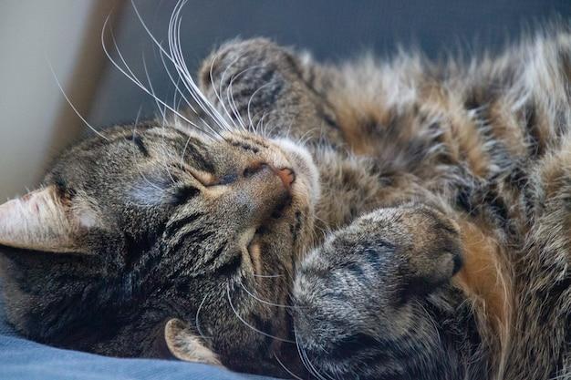 Nahaufnahmeaufnahme einer niedlichen schlafenden katze