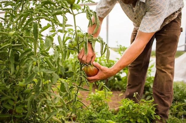 Nahaufnahmeaufnahme einer person, die die tomaten von der pflanze in einer farm auswählt