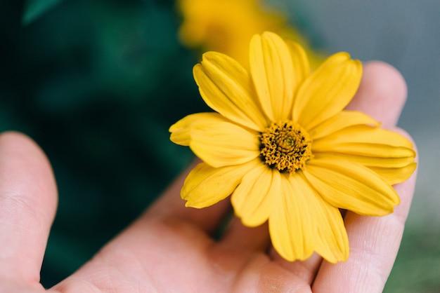 Nahaufnahmeaufnahme einer person, die eine gelbe blume mit einem unscharfen hintergrund hält