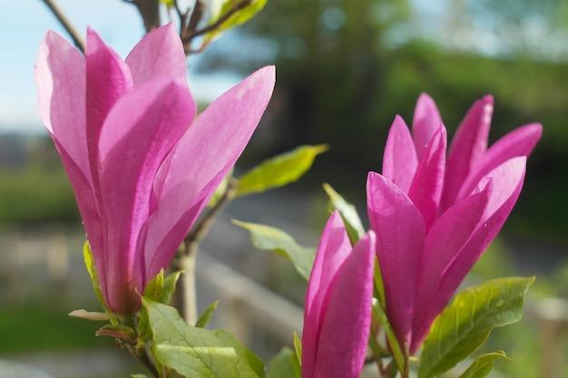 Nahaufnahmeaufnahme einer purpurnen chinesischen magnolie an einem sonnigen tag mit einem verschwommenen hintergrund