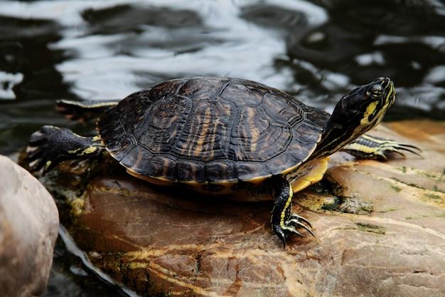 Nahaufnahmeaufnahme einer rotohrigen schildkröte trachemys scripta elegans, die auf einem felsen nahe dem wasser ruht