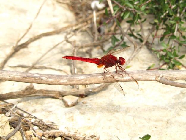 Nahaufnahmeaufnahme einer scharlachroten libelle, die auf einem zweig sitzt