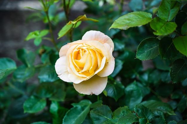 Nahaufnahmeaufnahme einer schönen gelben rose in einem garten auf einem unscharfen hintergrund