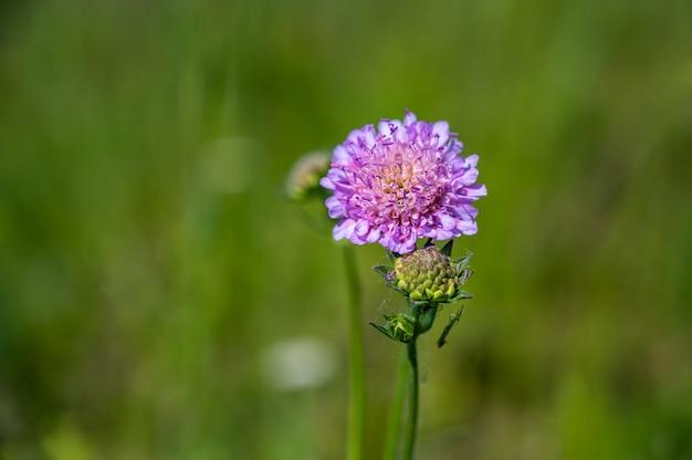 Nahaufnahmeaufnahme einer schönen lila nadelkissenblume auf einer unscharfen