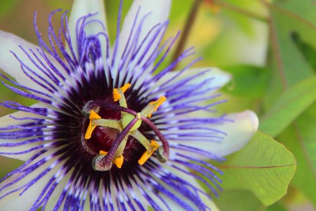 Nahaufnahmeaufnahme einer schönen lila passionsblume