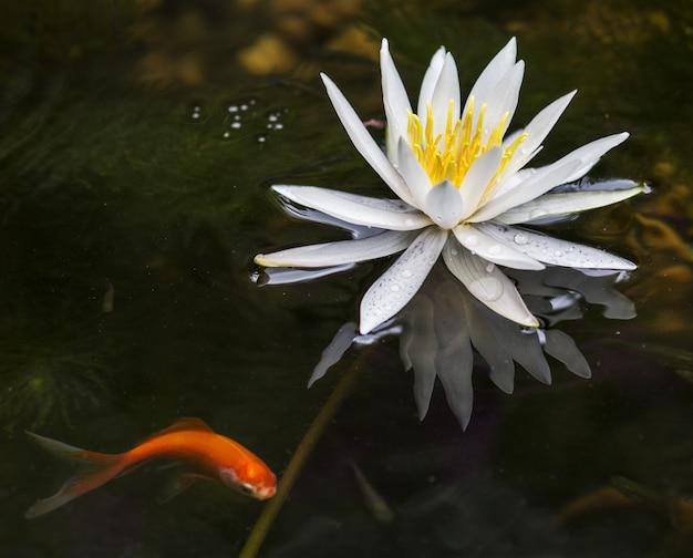 Nahaufnahmeaufnahme einer schönen lotusblume, die in einem see mit einem goldfisch auf der seite blüht