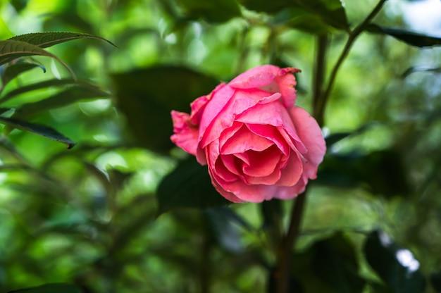 Nahaufnahmeaufnahme einer schönen rosa rose in einem garten auf einem unscharfen hintergrund