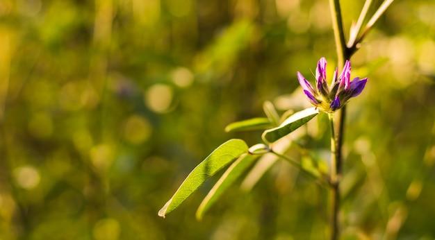 Nahaufnahmeaufnahme einer schönen violetten hundezahnviolettblume im garten