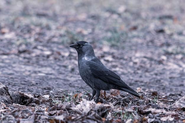 Nahaufnahmeaufnahme einer schwarzen krähe, die auf dem boden steht