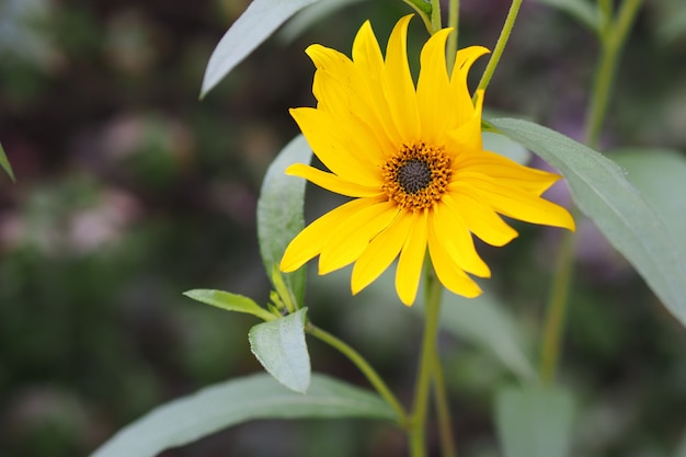 Nahaufnahmeaufnahme einer sonnenblume, die in einem grünen feld wächst