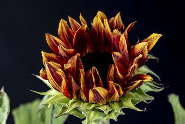 Nahaufnahmeaufnahme einer sonnenblume in der dunkelheit